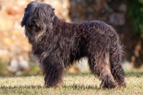 Perigo de extinção da raça canina, Serra de Aires